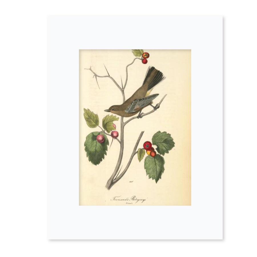 Townsend's Ptilogonys Matted Print