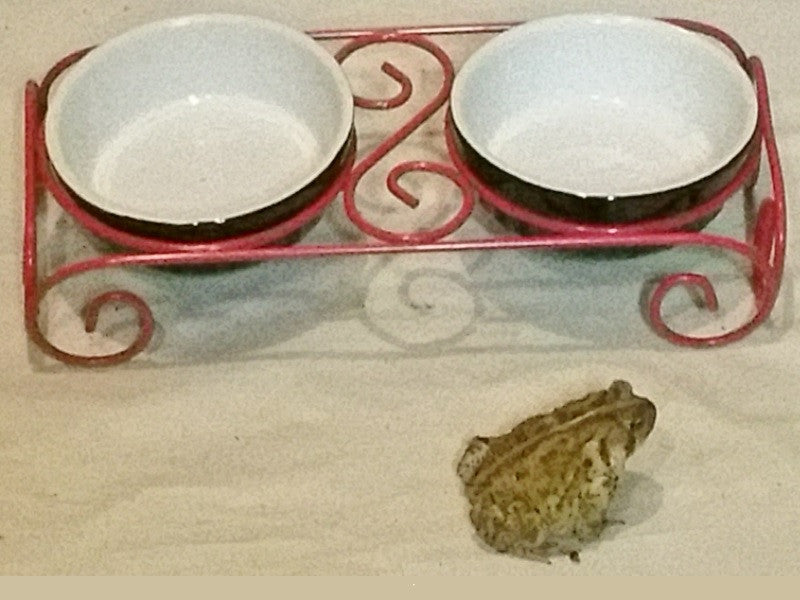 The Frog Trying to Eat the Cat's Food