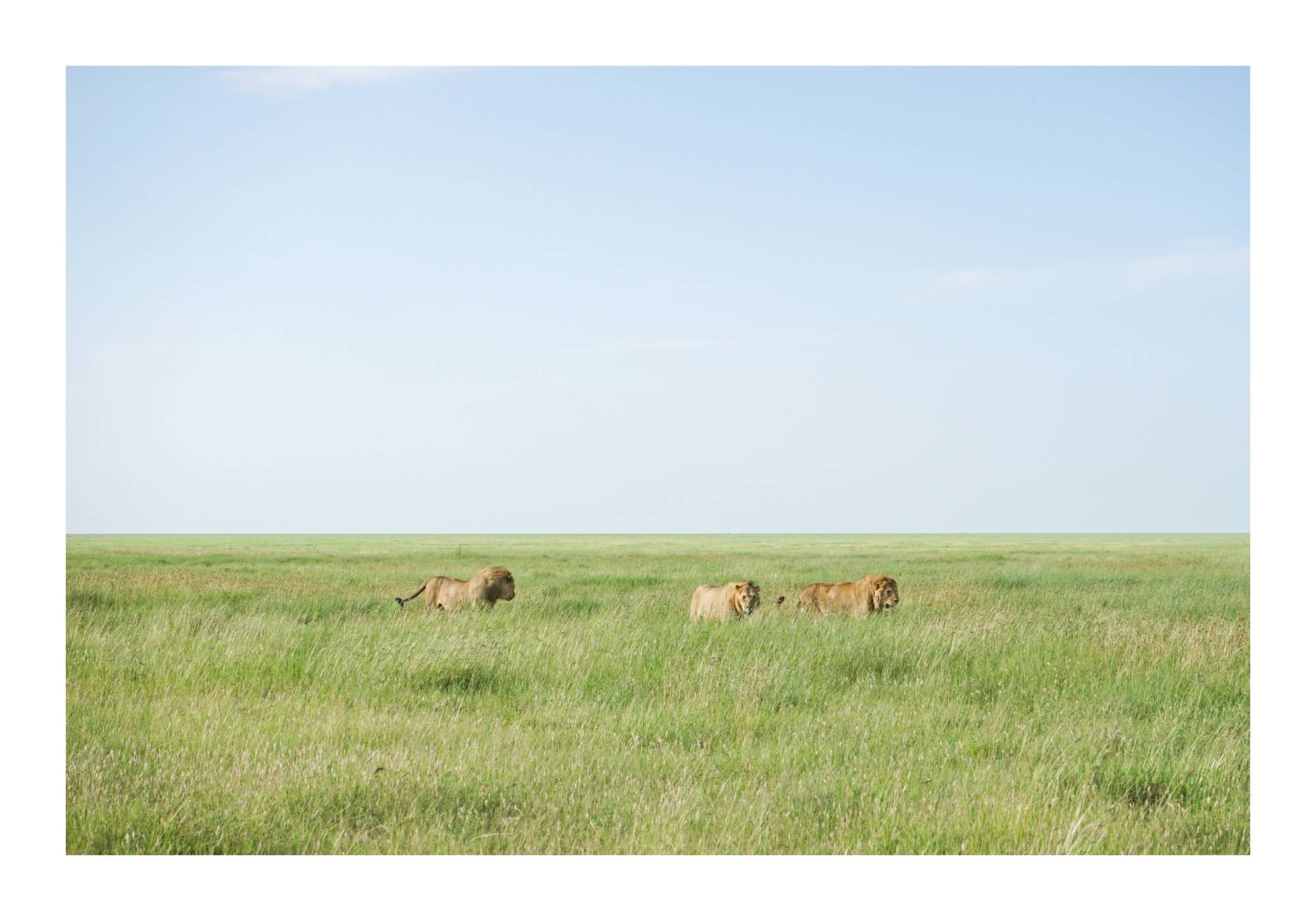 3 male lions in Serengeti, Tanzania