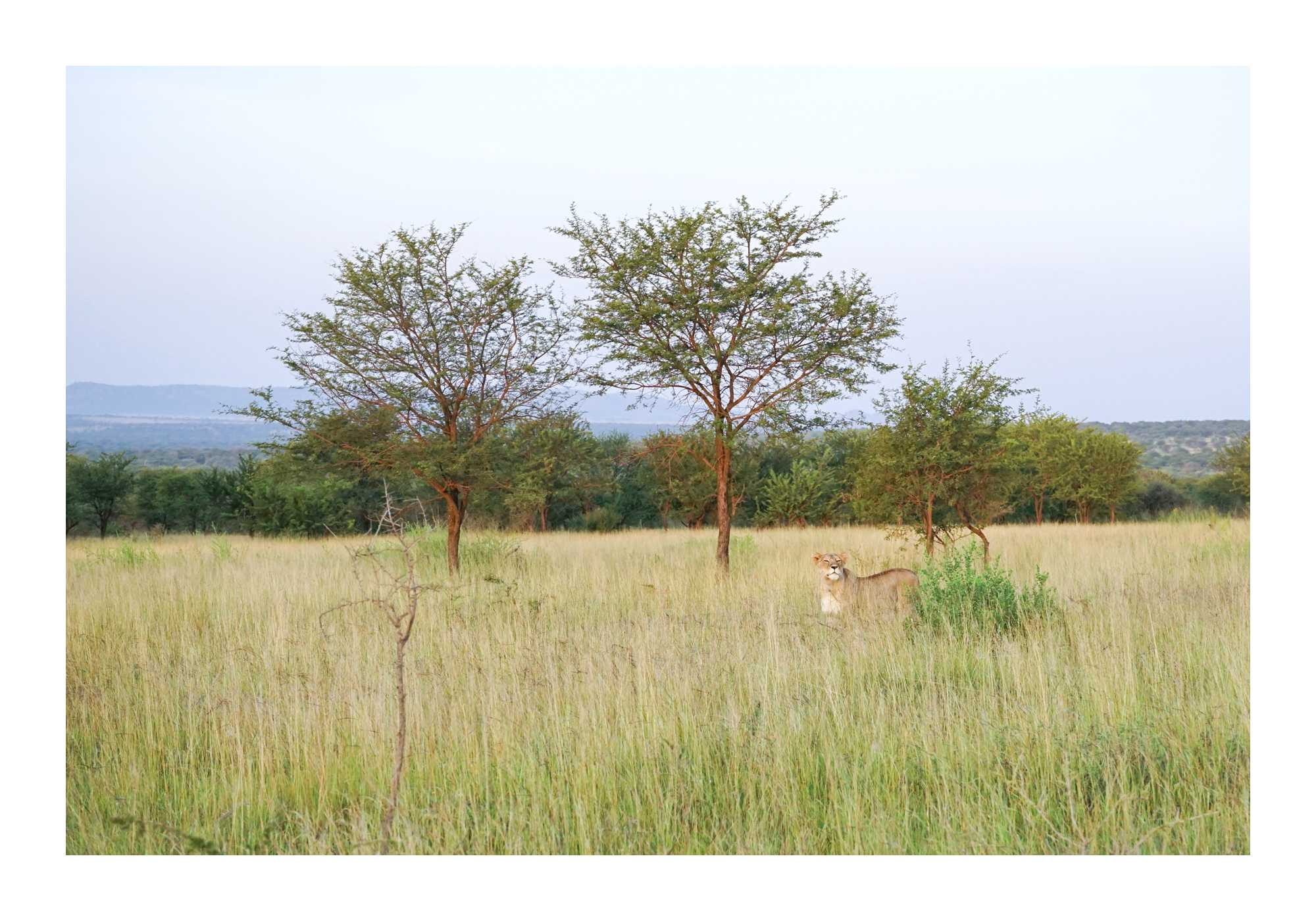Lioness hunting at dawn in Serengenti, Tanzania