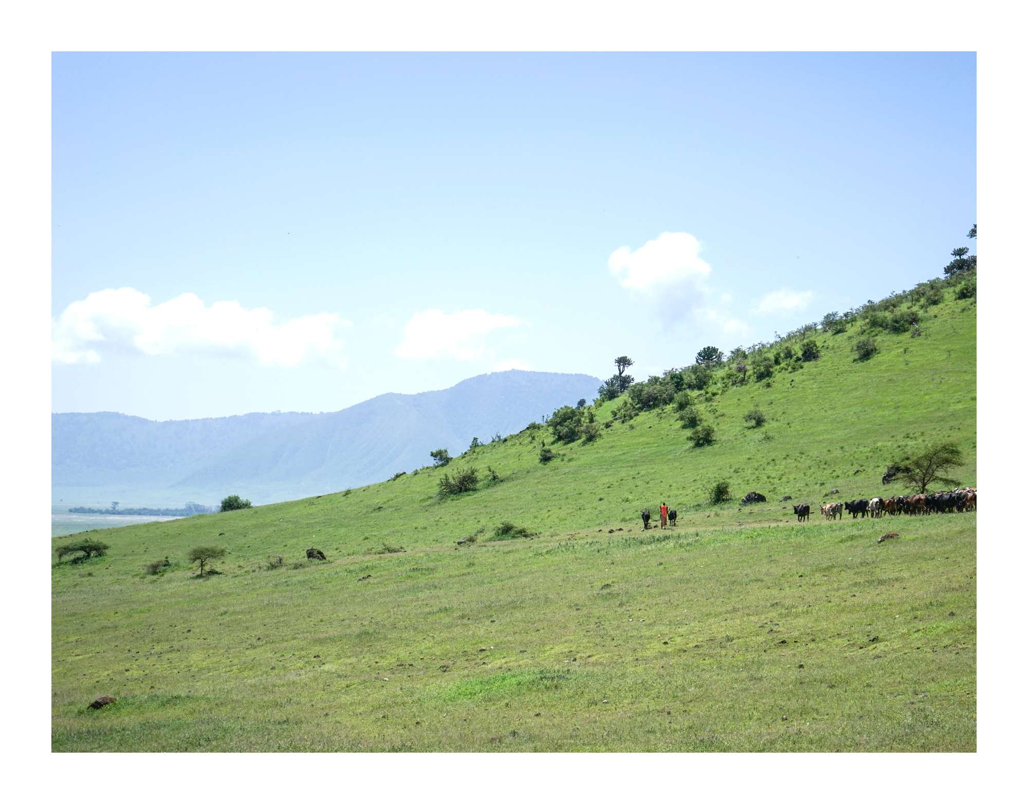 Maasai with cattle near Ngorongoro Crater in Tanzania
