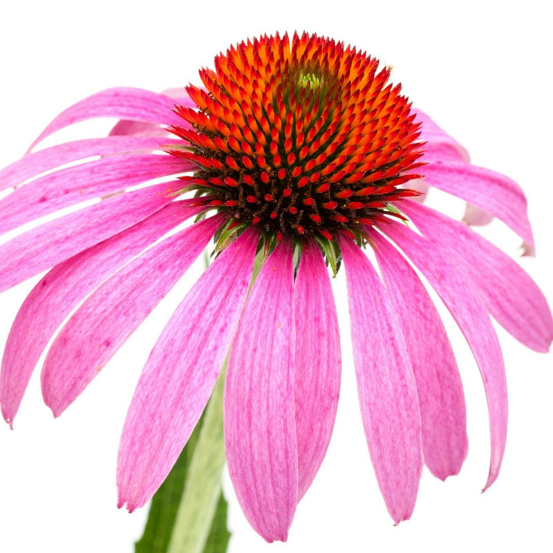 5 Amazing Facts about Echinacea