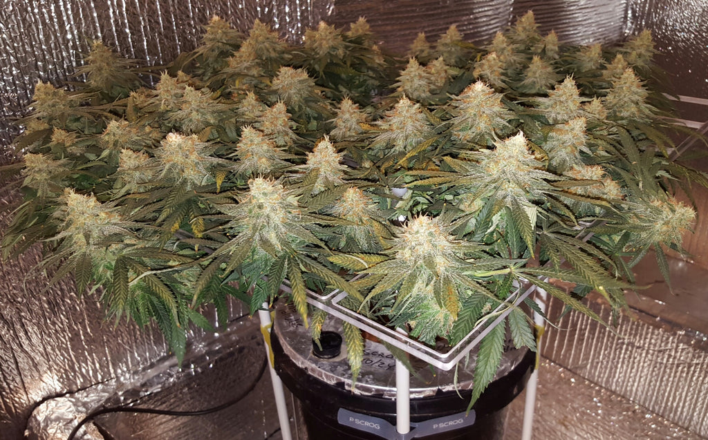 Best How To Scrog Guides