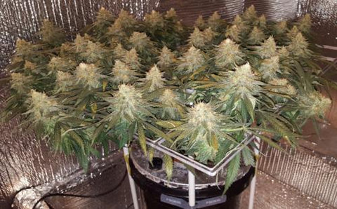 What Is The Grow Tent Size Guide Per Plant 1 4 10 15 20