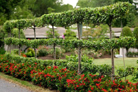 Espaliered Pear and Apple Trees