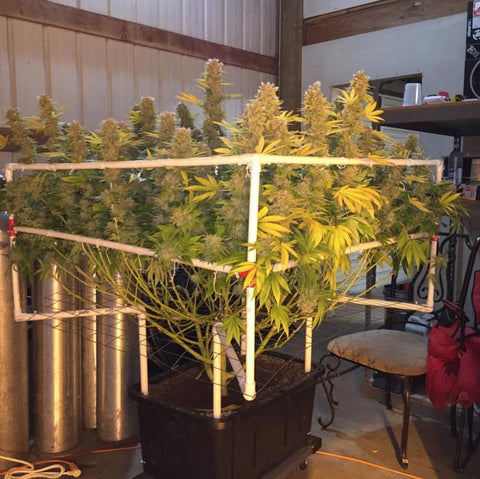 Best Quot How To Scrog Quot Guides