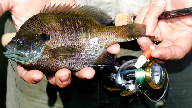 Too Many Bluegills Could Be $24k Fine