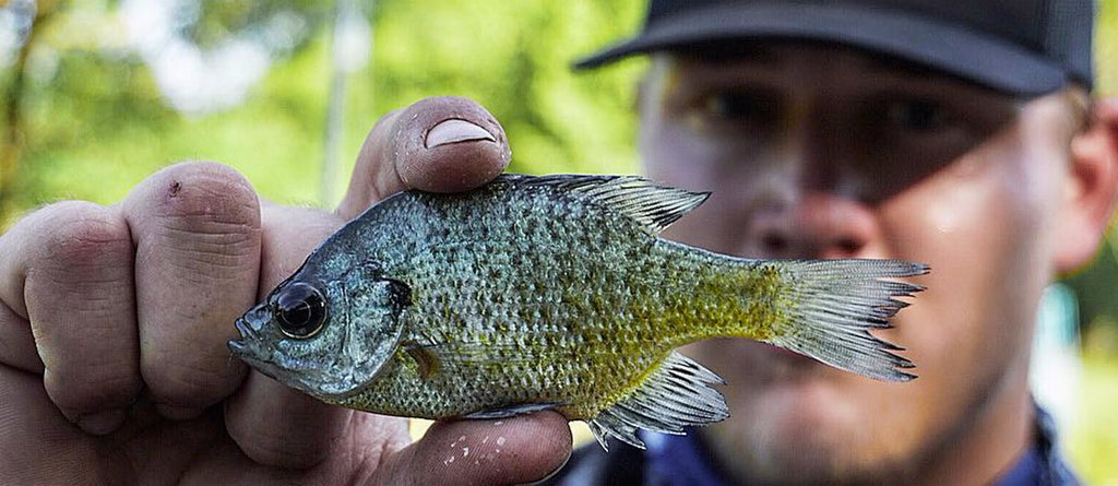 Angler holding a small bluegill or panfish up to the camera showing what bass eat.