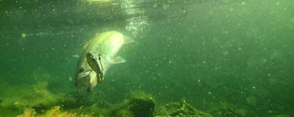 Largemouth bass underwater with a crankbait in its mouth showing best water temperature for bass fishing.