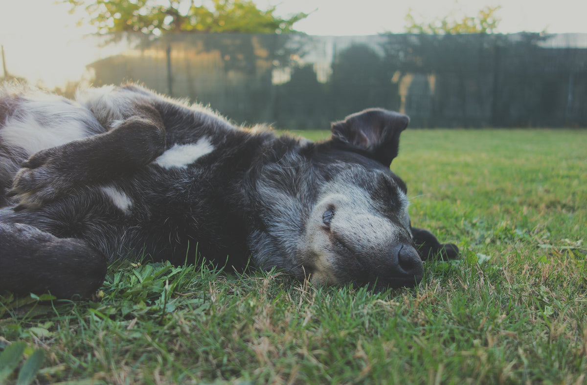 Why does my dog have dry skin? | Loyal Canine Co.