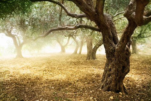 olive tree orchard