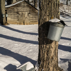 tapping Vermont maple syrup