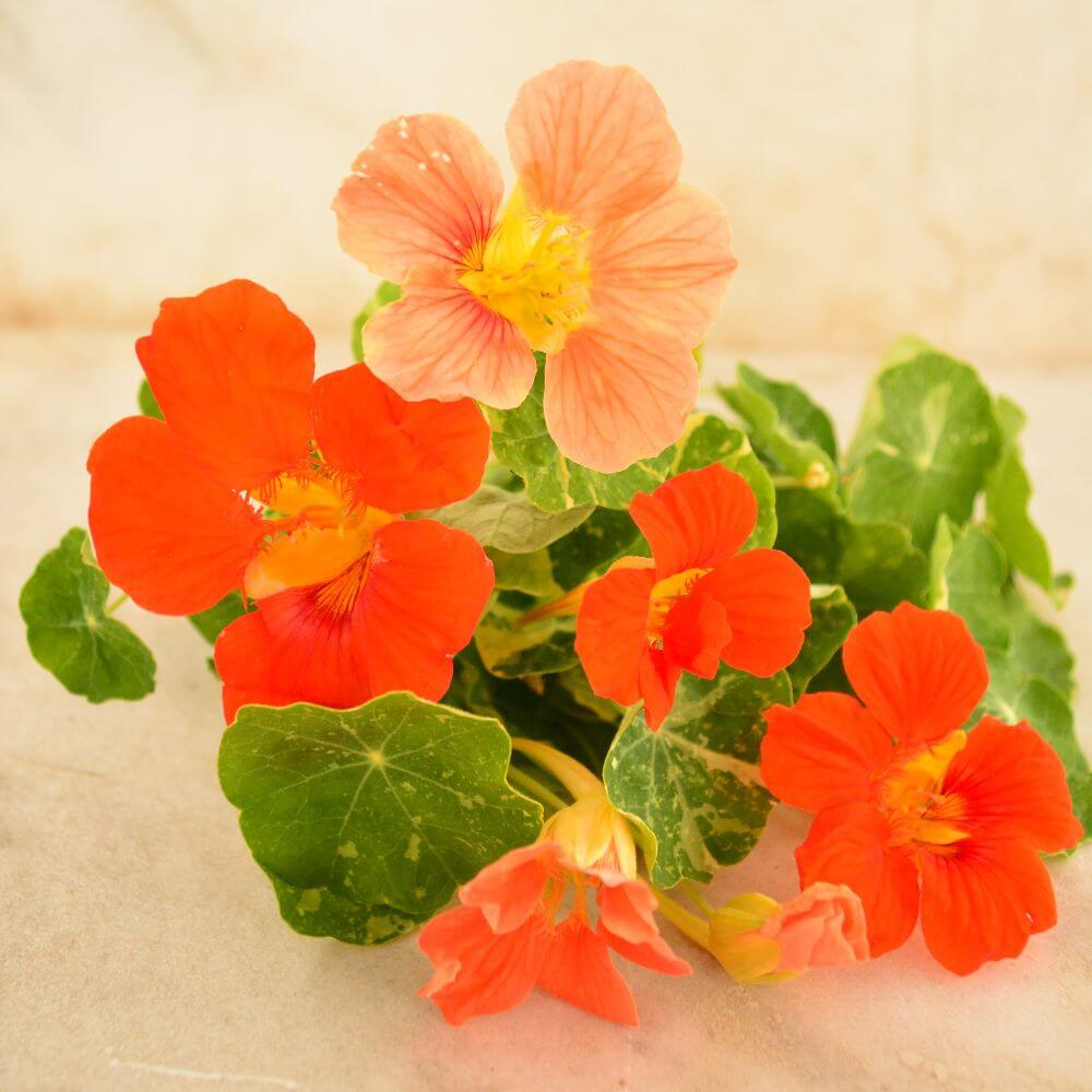 Heirloom Flowers - Alaska nasturtium