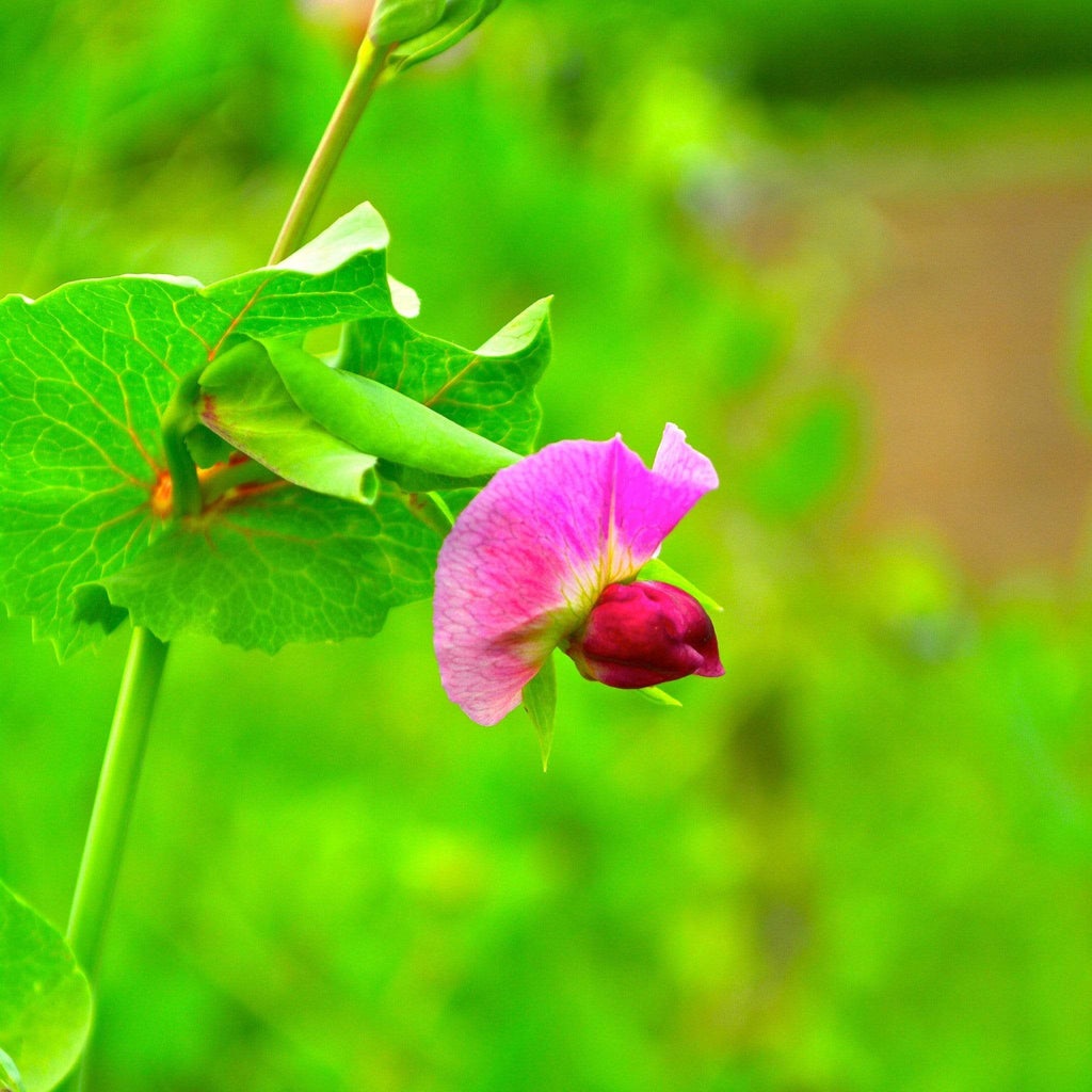 Blue Podded Shelling Pea flower