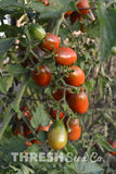 Growing Brown Cherry Tomato