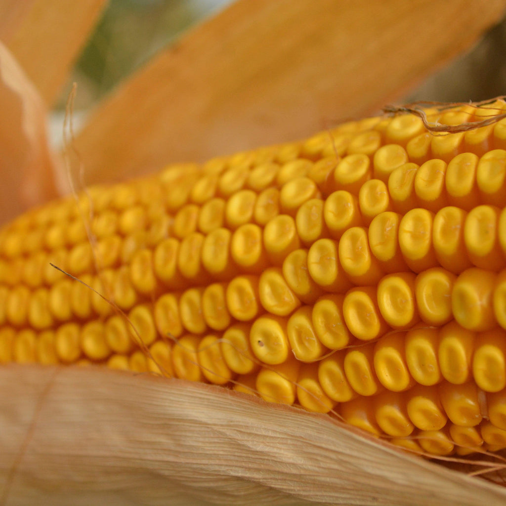Cooks Early Yellow Dent Corn Seeds