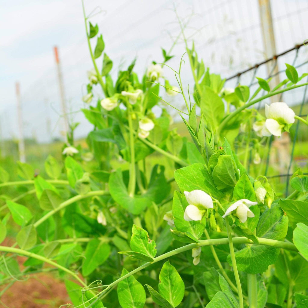 Growing Early Perfection Shelling Pea