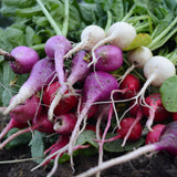 Easter Egg Radish Mix seeds