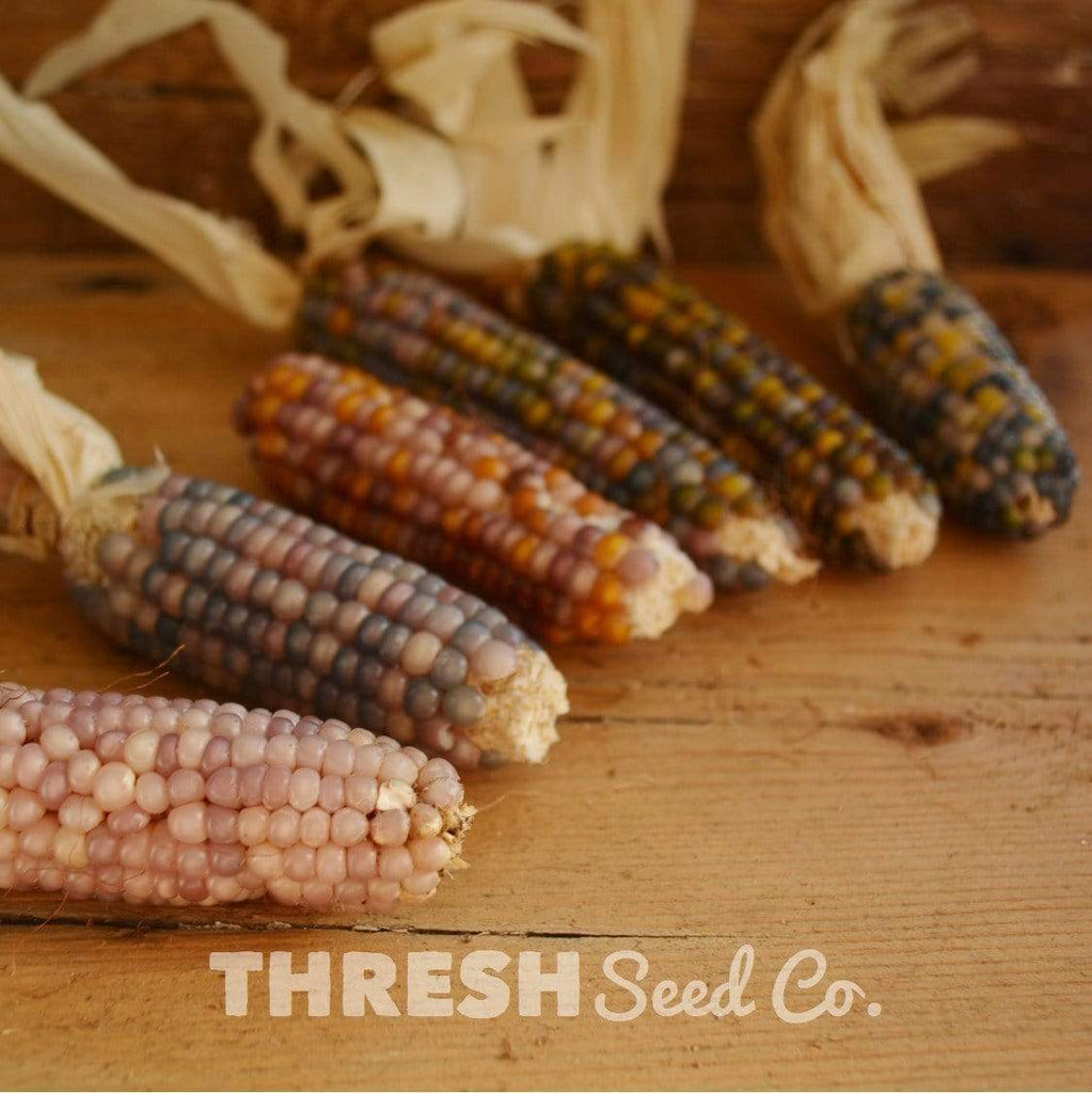 Glass Gem Corn kernels