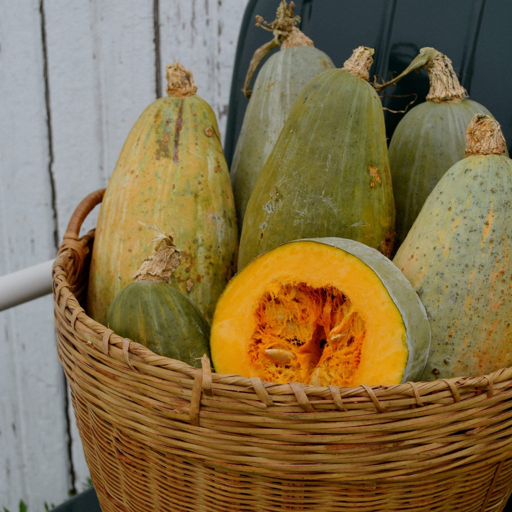 Guatemalan Blue Banana Squash in basket with seeds