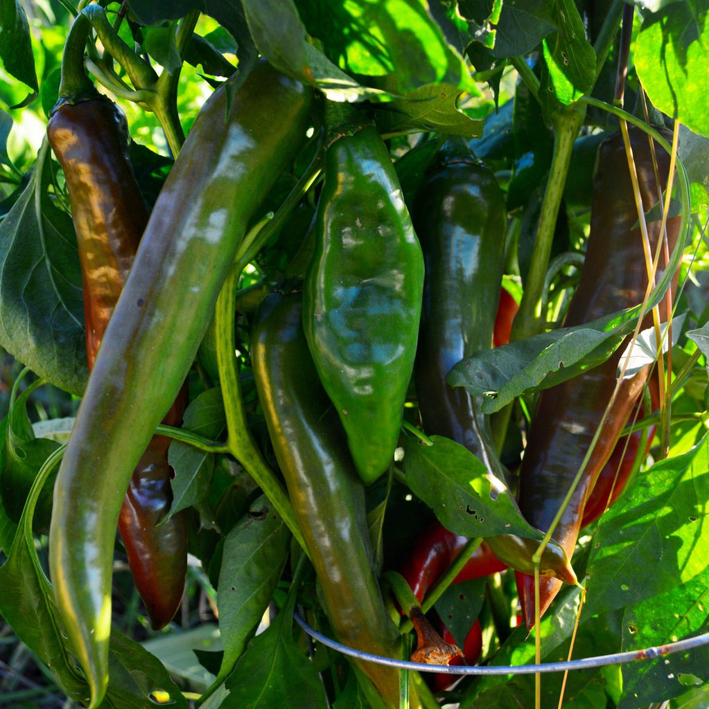 Hatch Green Chile Peppers growing