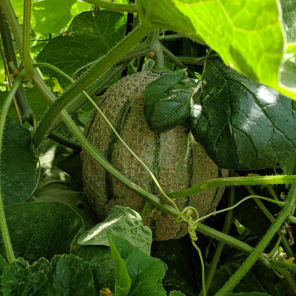 Iroquois melon growing