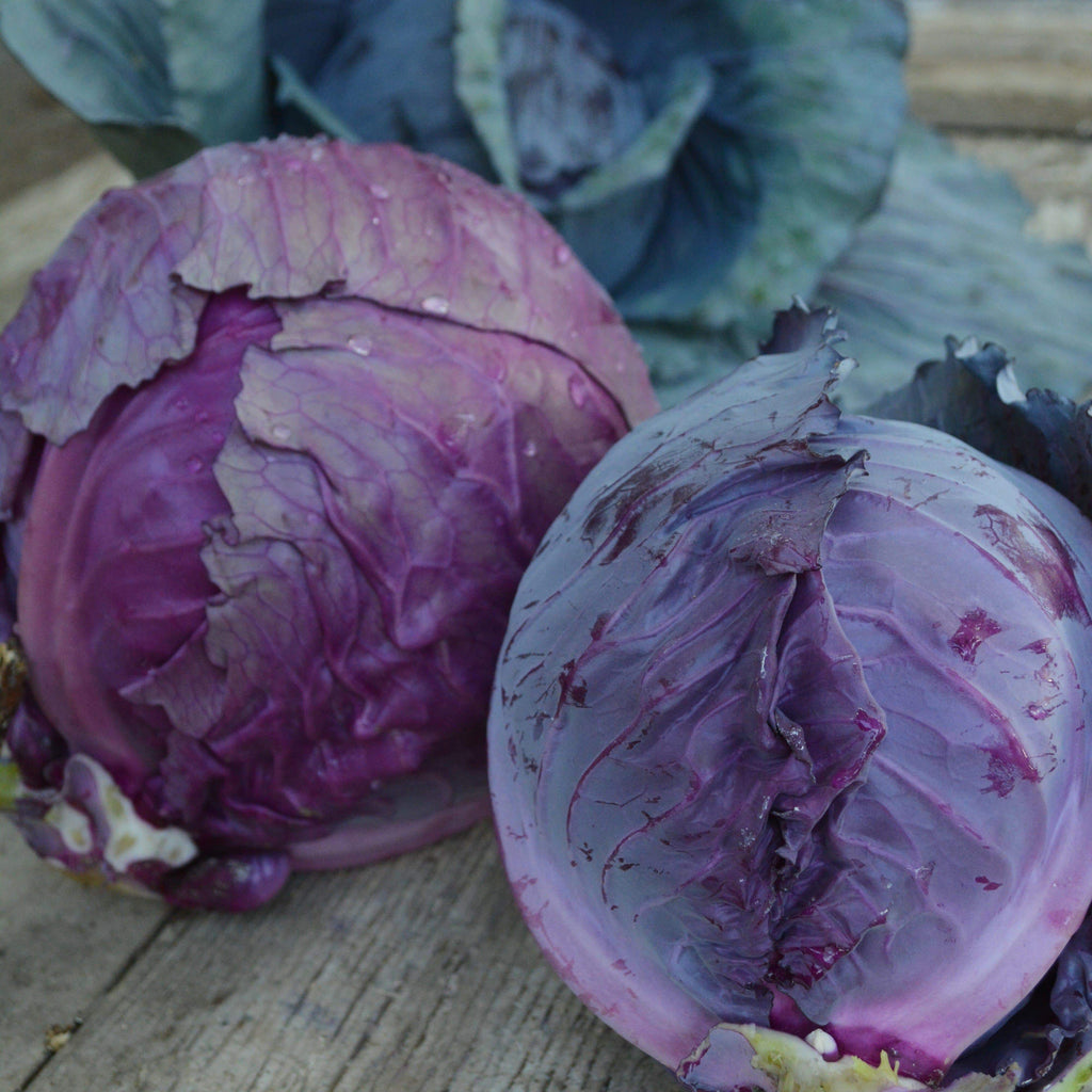 Mammoth Red Rock Cabbage Seeds
