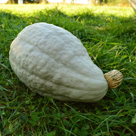 New England Blue Hubbard Squash in grass in garden