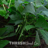 Prevail Snap Bean growing in garden