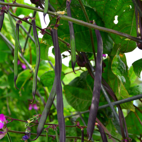 Purple Podded Pole Snap Bean growing in garden