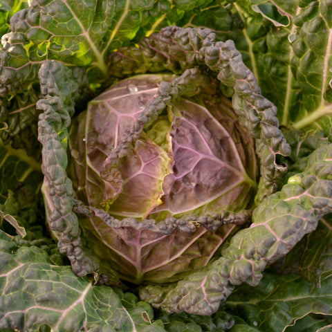 Purple Savoy Cabbages