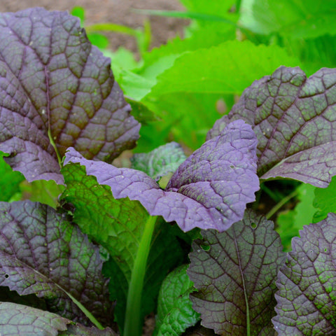 Red Giant Mustard leaves