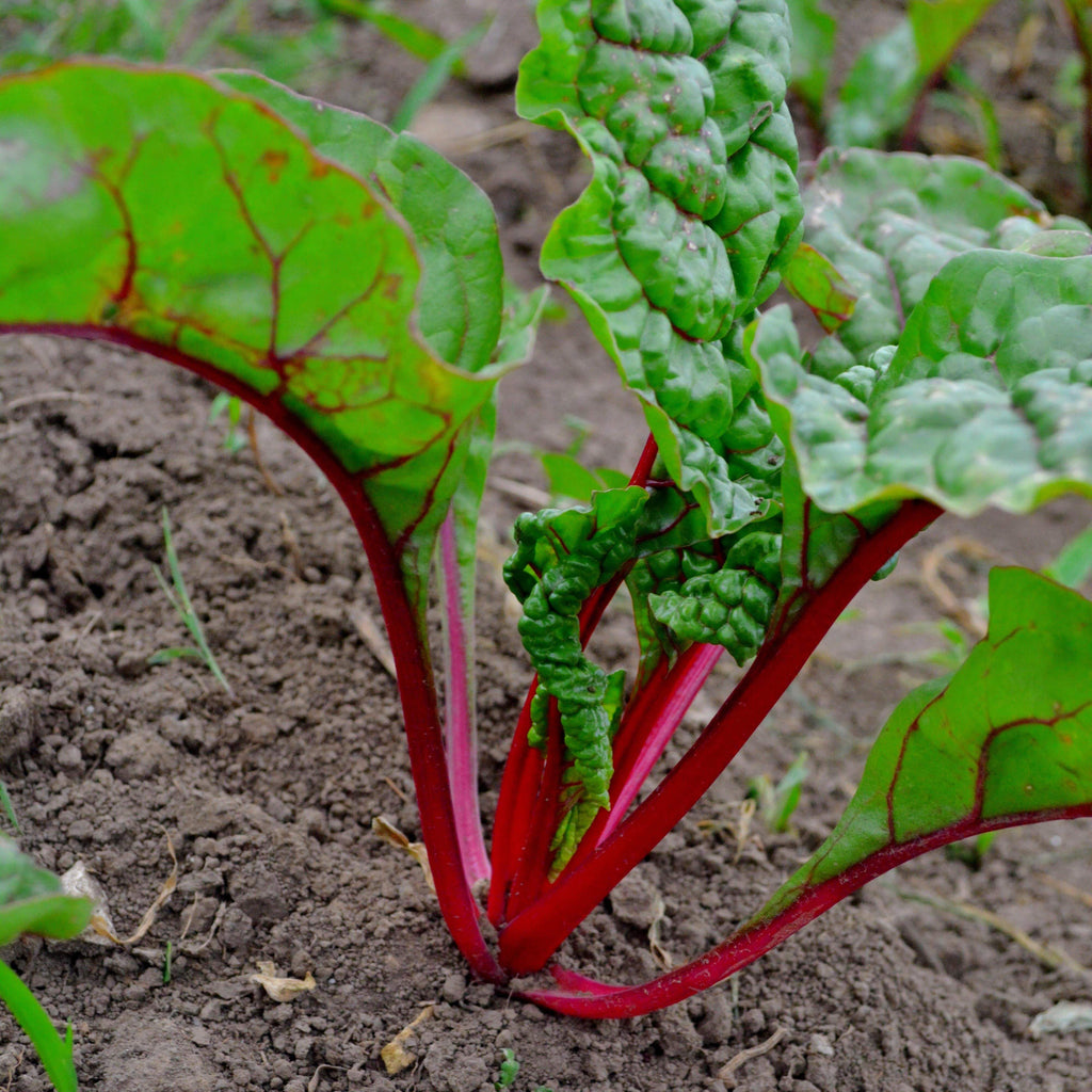 Ruby Swiss Chard in garden