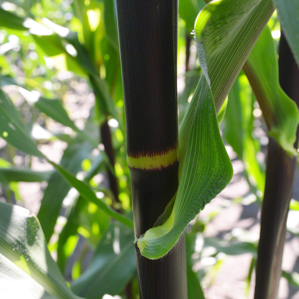 Seneca Red Stalker Corn stalk