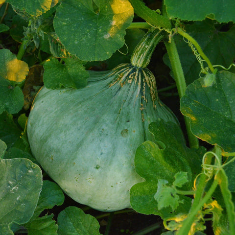 Sweet Meat Squash in garden