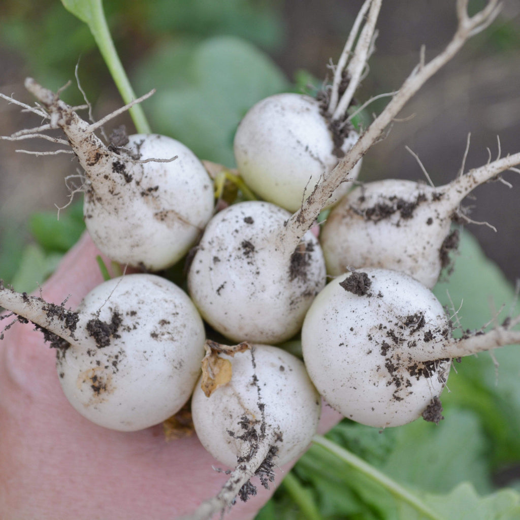 Freshly picked White Globe Radish