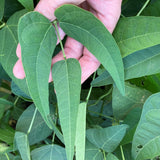 Willow Leaf White Lima Bean Seeds