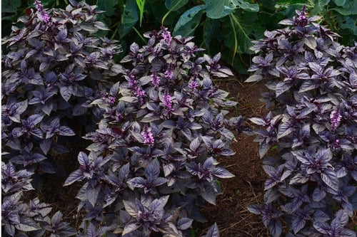 Basil plants in raised beds