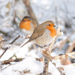 Robin in winter snow