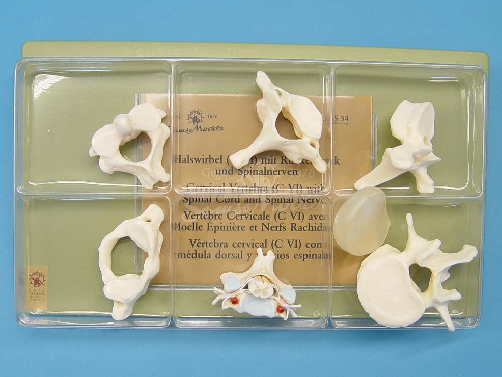 MODEL VERTEBRAE & SPINAL CORD