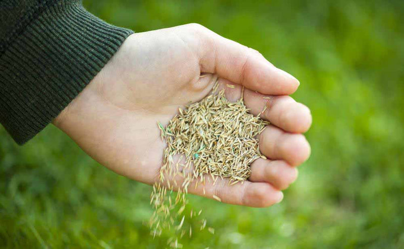 LiveMoor Grass Seeds - High Quality - Various Sizes