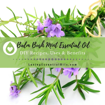 Balm Mint Bush Essential Oil Recipes, Uses and Benefits