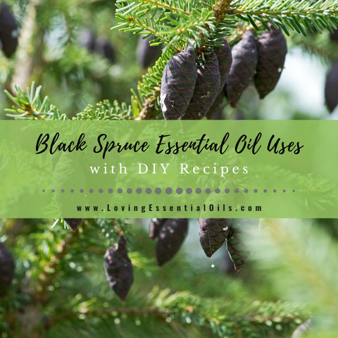 Black Spruce Essential Oil Recipes, Uses and Benefits - EO Spotlight