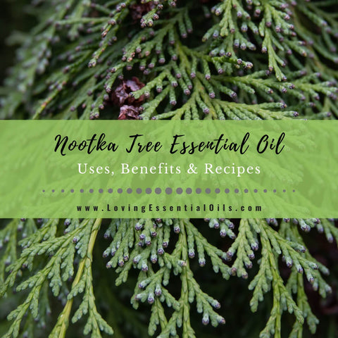 Nootka Tree Essential Oil Benefits, Uses and Recipes - EO Spotlight