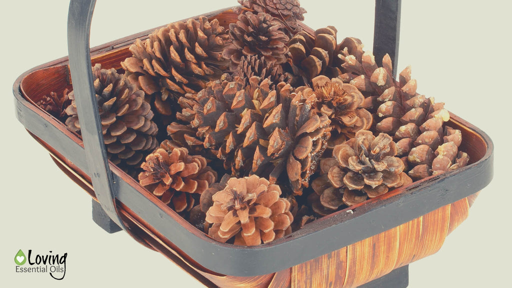 Essential Oil Scented Pine Cones with Cassia Oil | Cassia Essential Oil Uses, Benefits & Recipes - EO Spotlight by Loving Essential Oils