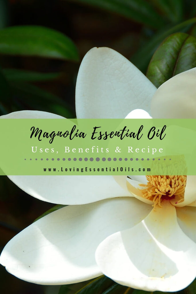 Magnolia Essential Oil Uses, Benefits & Recipes - EO Spotlight by Loving Essential Oils