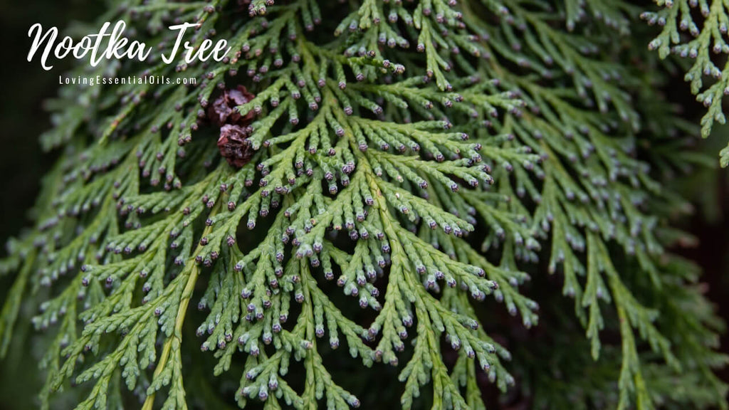 Nootka Tree Oil Spotlight & Facts by Loving Essential Oils