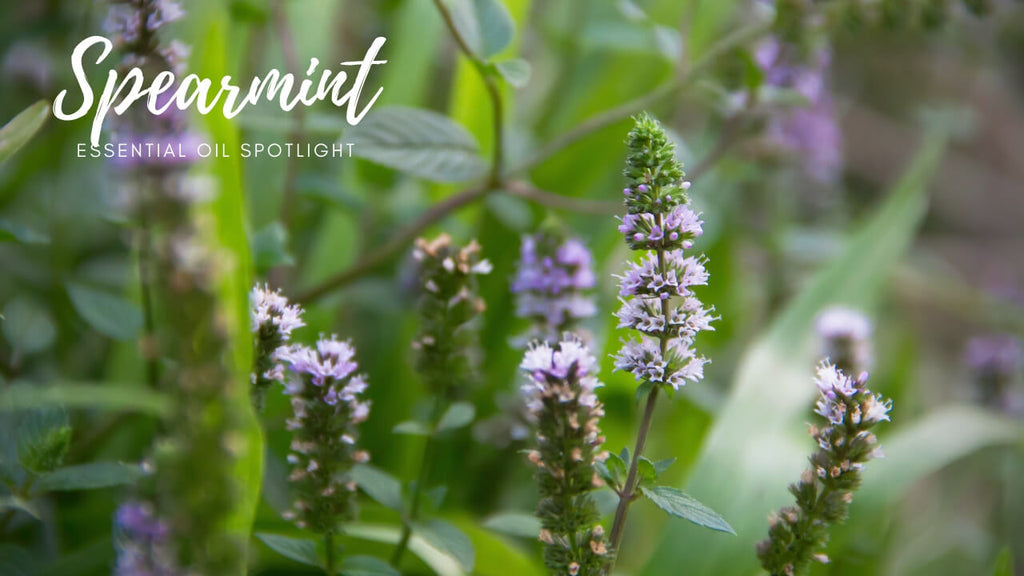 Spearmint Essential Oil Facts - Oil Spotlight by Loving Essential Oils