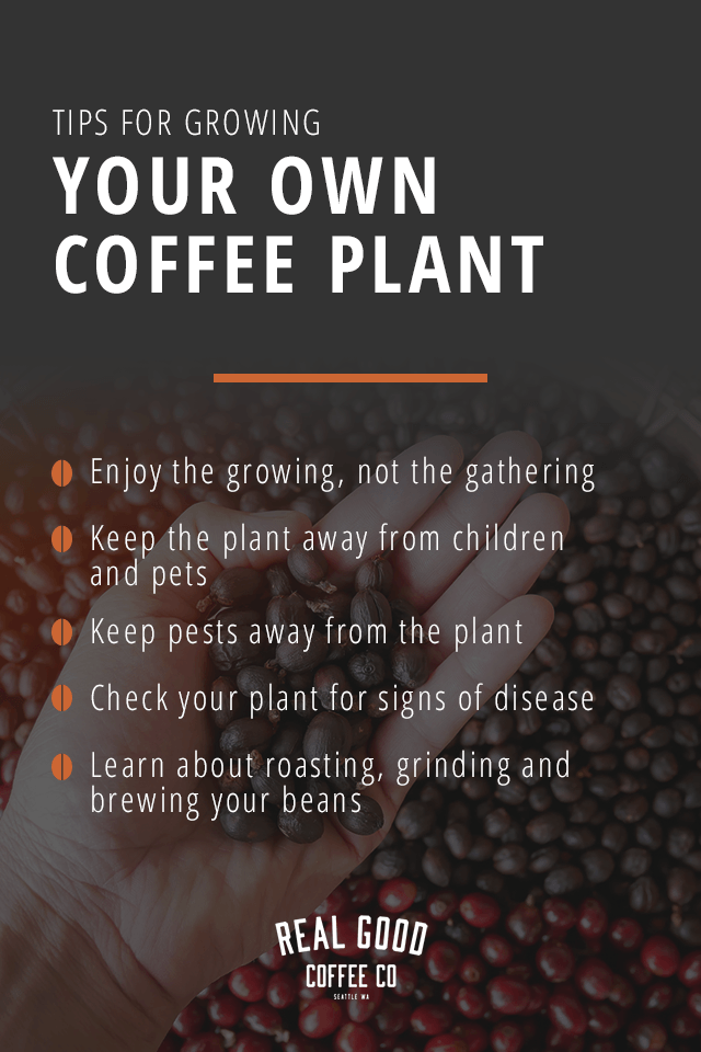 Tips for Growing Your Own Coffee Plant