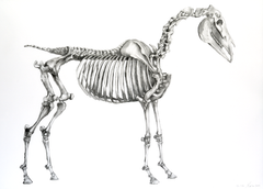 Horse Skeleton - mounted Giclee print by artist Xanthe Mosley. £45 at The Prints gallery.